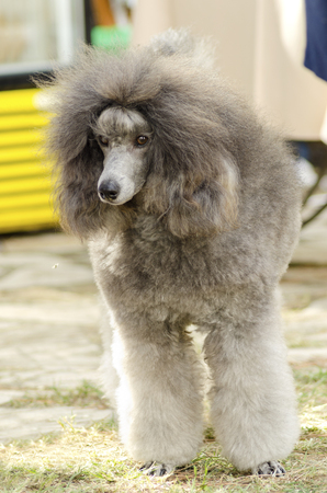 exceptionally: A close up of a small beautiful and adorable silver gray Miniature Poodle dog. Poodles are exceptionally intelligent usually equated to beauty, luxury and snobs. Stock Photo