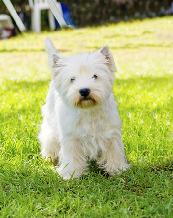 pure bred: A view of a small, young and beautiful West Highland White Terrier dog standing on the lawn. Westie dogs are very friendly and love companionship.