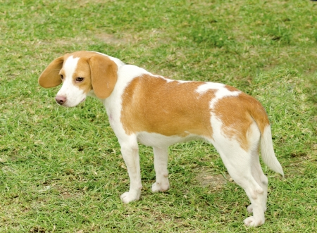shorthaired: A young, beautiful, white and orange Istrian Shorthaired Hound puppy dog standing on the lawn. The Istrian Short haired Hound is a scent hound dog for hunting hare and foxes.