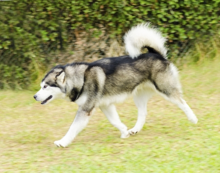 A young beautiful light gray, black and white Alaskan Malamute dog walking on the lawn. The Mal dog looks like a wolf with a proud, sweet expression. photo