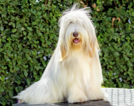 and distinctive: A young, happy, beautiful white fawn Bearded Collie sitting. Beardie dogs were used for herding, distinctive for their long straight coat. Stock Photo