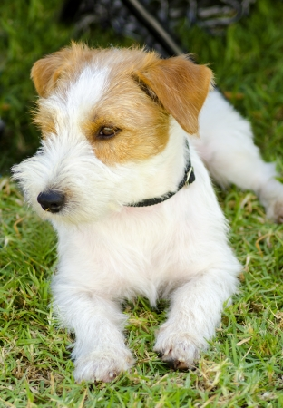 A small white and tan rough coated Jack Russell Terrier dog sitting on the grass, looking happy. It is known for being confident, highly intelligent and faithful, and views life as a great adventure.  photo