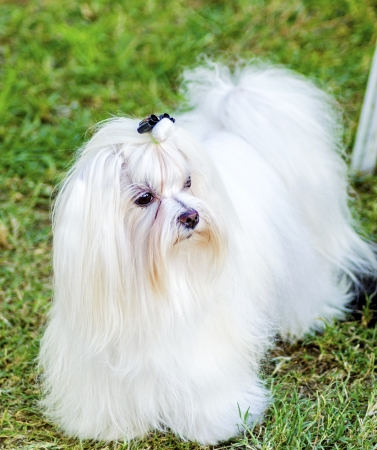 long silky hair: A view of a small, young and beautiful Maltese show dog with long white coat standing on the lawn. Maltese dogs have silky hair and are hypoallergenic.
