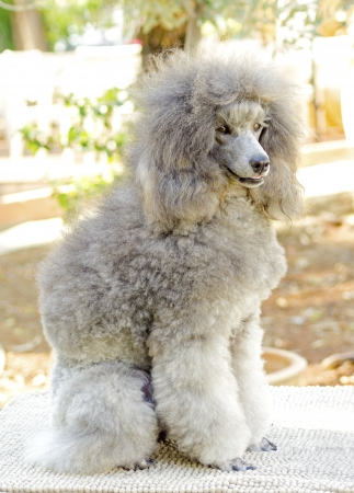 A close up of a small beautiful and adorable silver gray Miniature Poodle dog. Poodles are exceptionally intelligent usually equated to beauty, luxury and snobs. Stock Photo - 23078394
