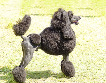 A close up of a small beautiful and adorable black Standard Poodle dog. Poodles are exceptionally intelligent usually equated to beauty, luxury and snobs. Stock Photo
