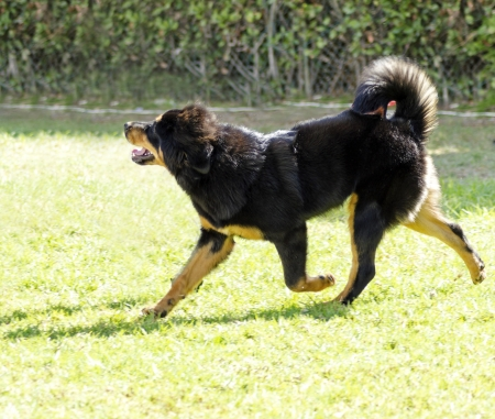 black giant mountain: A young, beautiful, black and tan - gold Tibetan Mastiff puppy dog running on the lawn. Do Khyi dogs are known for being courageous, thoughtful and calm.