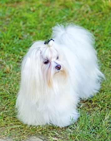 hypoallergenic: A view of a small, young and beautiful Maltese show dog with long white coat standing on the lawn. Maltese dogs have silky hair and are hypoallergenic.