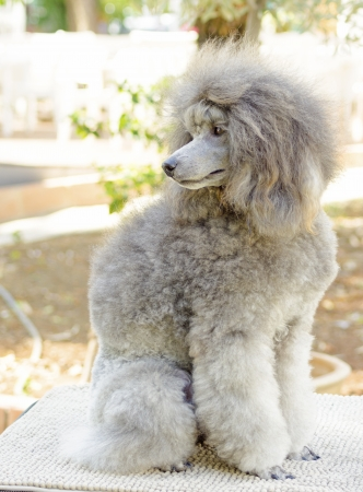 A close up of a small beautiful and adorable silver gray Miniature Poodle dog. Poodles are exceptionally intelligent usually equated to beauty, luxury and snobs. Stock Photo - 23181725