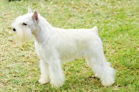 pure bred: A small white salt Miniature Schnauzer dog standing on the grass, looking very happy. Distinctive for their beard and long, feathery eyebrows