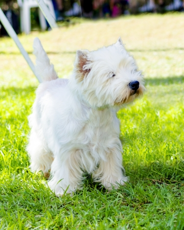 A view of a small, young and beautiful West Highland White Terrier dog standing on the lawn. Westie dogs are very friendly and love companionship.