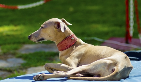 hounds: A small fawn - brown italian Greyhound dog lying down. Grey hounds are very thin and have a slender structure making them look very fragile. Stock Photo