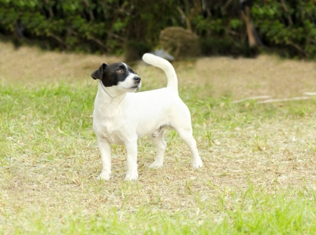 A small black and white rough coated Jack Russell Terrier dog standing on the grass, looking very happy. It is known for being confident, highly intelligent and faithful, and views life as a great adventure.  photo
