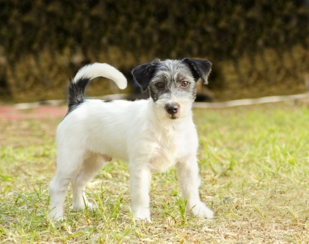A small white, black and gray rough coated Jack Russell Terrier dog standing on the grass photo