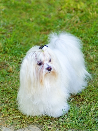 A view of a small, young and beautiful Maltese show dog with long white coat standing on the lawn. Maltese dogs have silky hair and are hypoallergenic. Stock Photo - 23312639