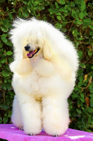 A close up of a small beautiful and adorable white cream Miniature Poodle dog. Poodles are exceptionally intelligent usually equated to beauty, luxury and snobs. Banco de Imagens