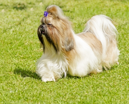 lap of luxury: A small young light brown, black and white tan Shih Tzu dog with a long silky coat and braided head coat running on the lawn.