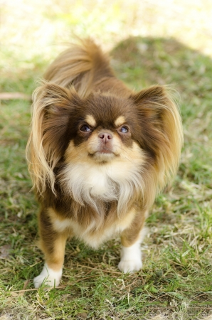 A small, young, beautiful, chocolate and cream, brown, long coated Chihuahua standing on the lawn. Chihuahua dogs are the smallest in size. photo