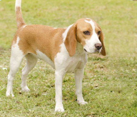 A young, beautiful, white and orange Istrian Shorthaired Hound puppy dog standing on the lawn. The Istrian Short haired Hound is a scent hound dog for hunting hare and foxes.