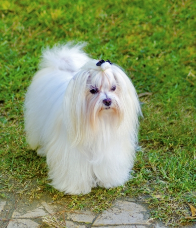pure bred: A view of a small, young and beautiful Maltese show dog with long white coat standing on the lawn. Maltese dogs have silky hair and are hypoallergenic.