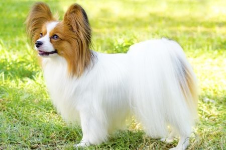 A small white and red papillon dog (aka Continental toy spaniel) standing on the grass looking very friendly and beautiful Banco de Imagens - 23387139