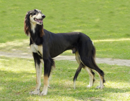 A side view of a healthy beautiful grizzle, black and tan, Saluki standing on the lawn looking happy and cheerful. Persian Greyhound dogs are slim and slender with a long narrow head. Stock Photo