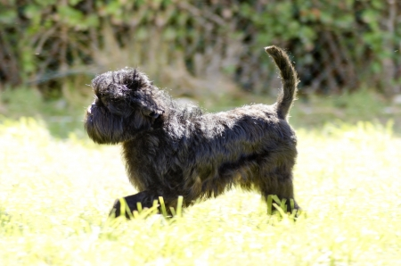A small young black Affenpinscher dog