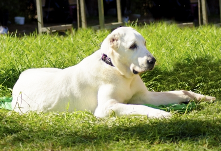central asia shepherd dog: A young beautiful white Central Asian Shepherd Dog sitting on the grass looking lazy and aloof.
