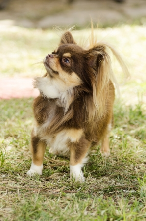 A small, young, beautiful, chocolate and cream, brown, long coated Chihuahua standing on the lawn.  photo