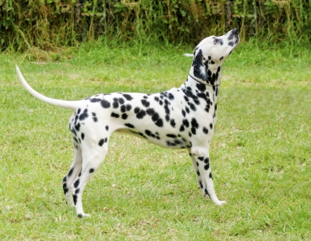 A young beautiful Dalmatian dog  Stock Photo