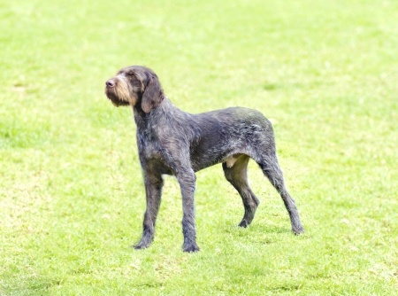 wirehaired: A young, beautiful, liver, black and white ticked German Wirehaired Pointer dog