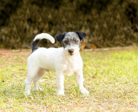 A small white, black and gray rough coated Jack Russell Terrier dog  photo