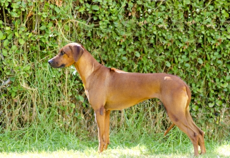 A young, beautiful, light wheaten to shades of red  Rhodesian Ridgeback dog standing on the grass. The African Lion Hound is distinctive for the ridge of hair running along its back in the opposite direction from the rest of its coat. Stock Photo
