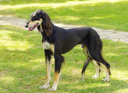 grizzle: A side view of a healthy beautiful grizzle, black and tan, Saluki standing on the lawn looking happy and cheerful. Persian Greyhound dogs are slim and slender with a long narrow head. Stock Photo