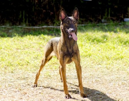 A young, beautiful, black and mahogany crazy looking Belgian Shepherd Dog standing on the lawn sticking its tongue out. Belgian Malinois are working dogs, very intelligent and used in military and police. photo