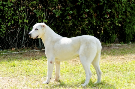 central asia shepherd dog: A young beautiful white Central Asian Shepherd Dog standing on the grass looking lazy and aloof. The Central Asian Ovtcharka is a large robust dog, usually with small cropped ears and thick double coat.