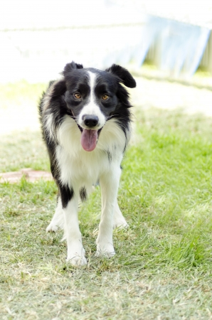 A young, healthy, beautiful, black and white Border Collie dog standing on the grass looking very happy. The Scottish Sheep Dog is ranked as one of the most intelligent breeds photo