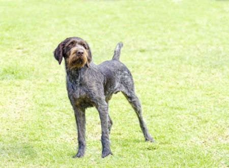 wirehaired: A young, beautiful, liver, black and white ticked German Wirehaired Pointer dog standing on the lawn. The Drahthaar has a distinctive eyebrows, beard and whiskers and straight harsh wiry coat.