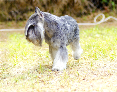A small salt and pepper, gray Miniature Schnauzer dog walking on the grass, looking very happy. It is known for being an intelligent, loving, and happy dog photo