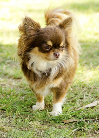 A small, young, beautiful, chocolate and cream, brown, long coated Chihuahua standing on the lawn. Chihuahua dogs are the smallest in size. Stock Photo - 23862372