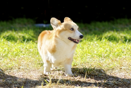 erect: A young, healthy, beautiful, red sable and white Welsh Corgi Pembroke dog with a docked tail walking on the grass happily. The Welsh Corgi has short legs, long body, big erect ears and is a herding breed.