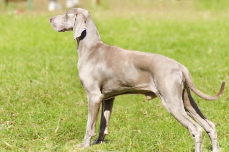 silver fox: A young, beautiful, silver blue gray Weimaraner dog standing on the lawn with no docked tail. The Grey Ghost is a hunting gun dog originaly bred for royalty and nobility.