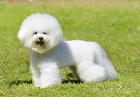 bichon: A small beautiful and adorable white bichon frise dog standing on the lawn and looking cheerful.