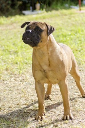 powerfully: A young, beautiful red fawn, medium sized Bullmastiff dog standing on the grass. The Bullmastiff is a powerfully built animal with great intelligence and a willingness to please. Stock Photo