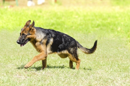 A young, beautiful, black and tan German Shepherd Dog puppy walking on the grass while looking happy and playful.  photo