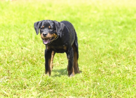 A cute, healthy, young, beautiful black and rust Rottweiler puppy dog walking on the grass. Rotweillers are well known for being intelligent dogs and very good protectors. photo