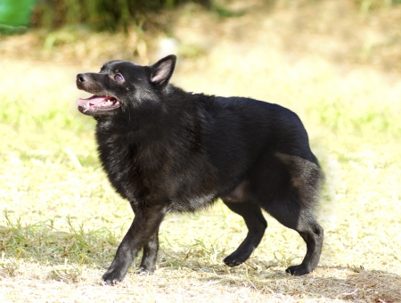 in herding: A young, healthy, beautiful, black Schipperke dog standing on the grass looking happy and playful. The Spitzke has small pointed erect ears and is a herding breed and it looks like a fox.