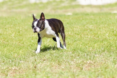 boston bull terrier: A small, young, beautiful, black and white Boston Terrier dog walking on the grass