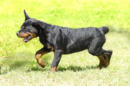 A cute, healthy, young, beautiful black and rust Rottweiler puppy dog running on the grass.  photo