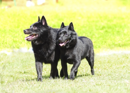 Two young, healthy, beautiful, black Schipperke dogs walking on the grass looking happy and playful. Stock Photo
