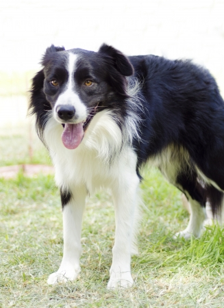 A young, healthy, beautiful, black and white Border Collie dog standing on the grass looking very happy. photo